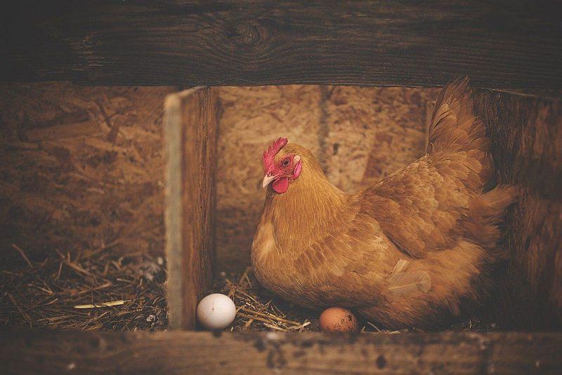 Pourquoi les poulets ne pont-ils pas leurs œufs?