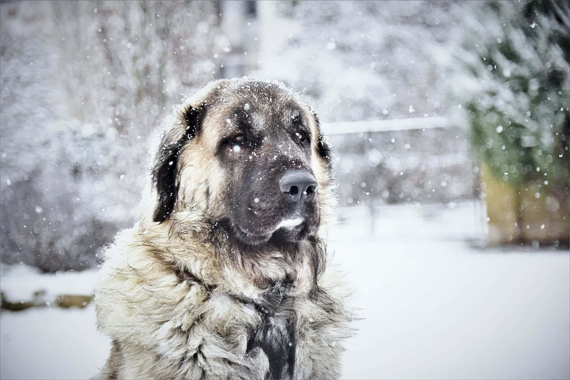 Quel est le chien le plus fort du monde?